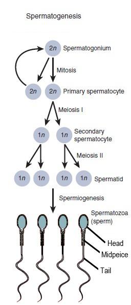 18.4.3 Spermatogenesis