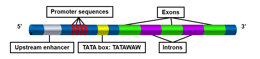 Components of DNA regulating transcription: upstream enhancer, promoter sequences, TATA box: TATAWAW, Exons and Introns.