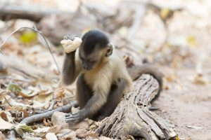 A capuchin monkey sitting on the ground using a stone to break open a large seed pod.