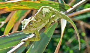 A chameleon on a branch, surrounded by foliage. The chameleon is camouflaged to blend into its surroundings.