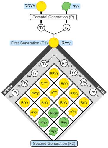 This chart represents Mendel's second set of experiments. It shows the outcome of a cross between plants that differ in seed color (yellow or green) and seed form (shown here with a smooth round appearance or wrinkled appearance). The letters R, r, Y, and y represent genes for the characteristics Mendel was studying. Mendel didn't know about genes, however, because genes would not be discovered until several decades later. This experiment demonstrates that, in the F2 generation, nine out of 16 were round yellow seeds, three out of 16 were wrinkled yellow seeds, three out of 16 were round green seeds, and one out of 16 was wrinkled green seeds.