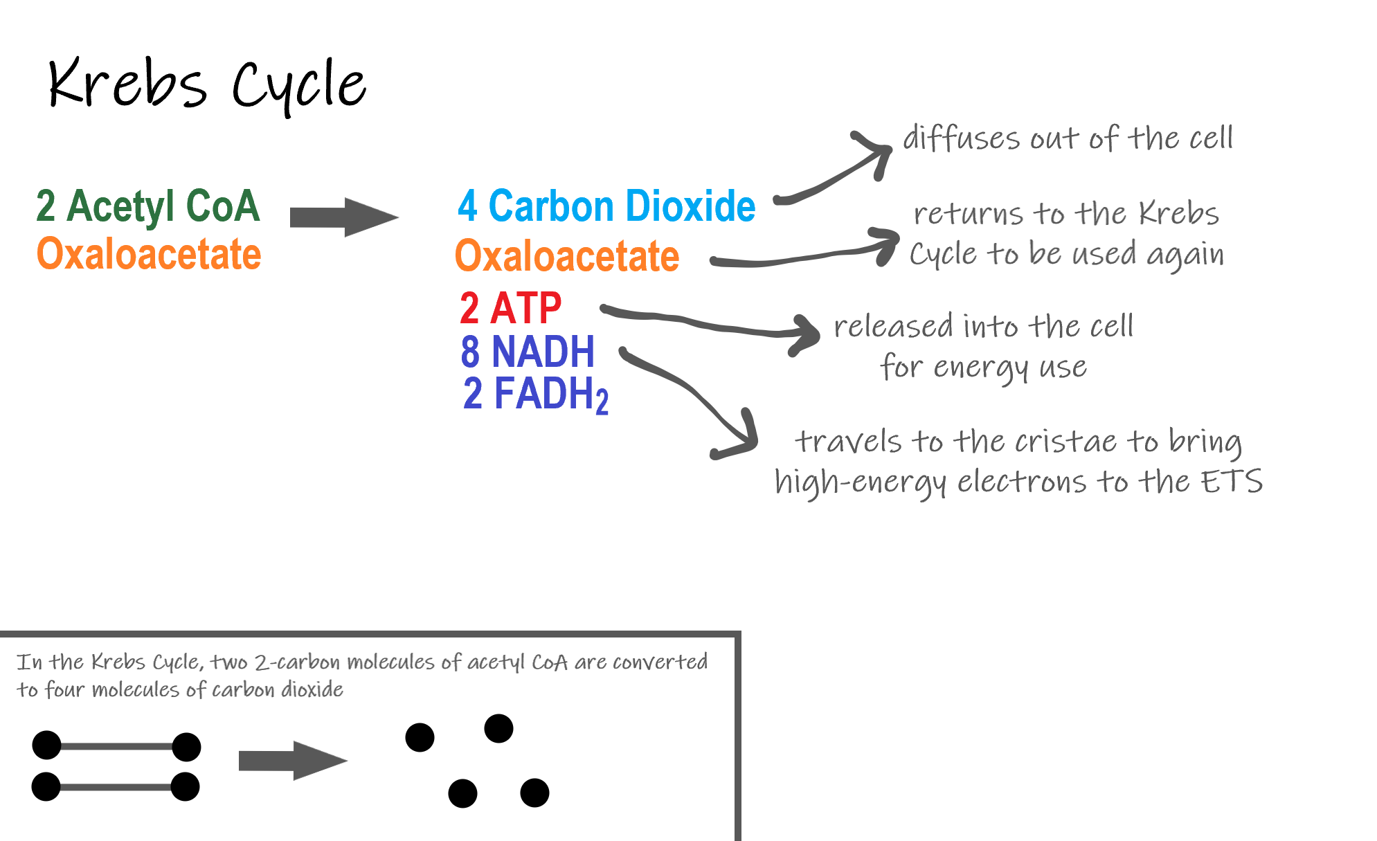 Image shows a diagram of the reactants and products of the Krebs Cycle. Two molecules of acetyl CoA are converted to 4 carbon dioxide which are released as cellular waste, 2 ATP which are used in the cell for energy, and 8 NADH and 2 FADH2, both of which travel to the ETS.